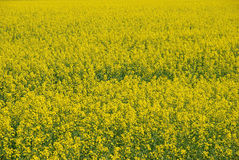Mustard Farm Close-up Royalty Free Stock Images