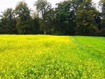 Mustard farm in Luxembourg, Europe. Mustard farm in Luxembourg,  Europe royalty free stock images