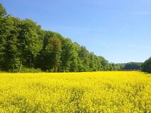 Mustard farm in Luxembourg, Europe. Mustard farm in Luxembourg,  Europe royalty free stock photos