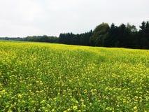 Mustard farm in Luxembourg, Europe. Mustard farm in Luxembourg,  Europe stock image