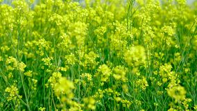 Mustard farming at a field. Mustard farming ground.mustard oil farming in indian agriculture Stock Image