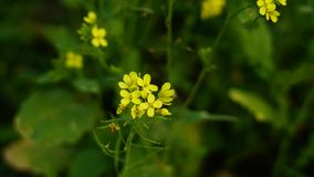 Mustard flower in mustard farming. Mustard farming in winter in india, mustard oil is very importent spiced in india royalty free stock photography