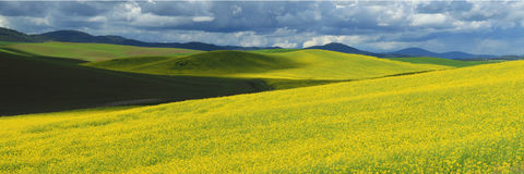 Mustard Field. Rolling MustardFields located in the Palouse Royalty Free Stock Images