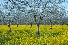 Mustard Field Stock Photography