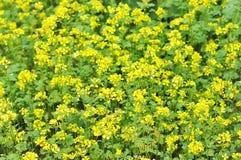 Mustard field. Stock Photos