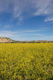 Mustard Field Stock Image