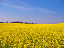 Mustard field Royalty Free Stock Image
