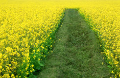 Free Mustard Field Royalty Free Stock Photography - 84332047