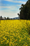 Mustard field. Indication of spring Stock Photos