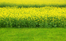 Mustard field in Bangladesh Royalty Free Stock Images