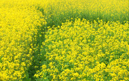 Mustard field in Bangladesh Royalty Free Stock Photography
