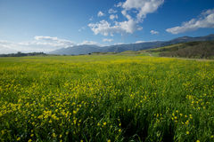 Mustard Field into Distance Stock Photo
