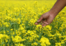 Mustard field Stock Photography