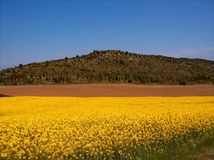 Mustard field and landscape royalty free stock photo