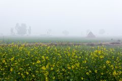 Mustard Field in Foggy Morning in Punjab, India. royalty free stock photography