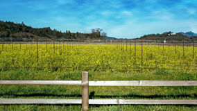 Mustard field in the Napa Valley Stock Images