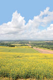 Mustard field road Stock Images