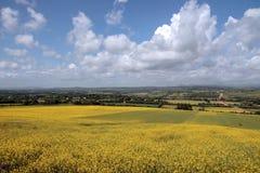 Mustard field scene Stock Photos