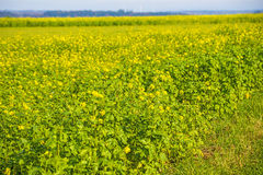 Mustard field Royalty Free Stock Photo