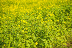 Mustard field Royalty Free Stock Photos