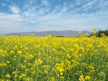 Mustard field Royalty Free Stock Images