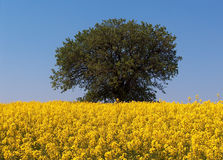 Mustard field and a tree. Yellow mustard field and a tree in bright shiny day Royalty Free Stock Image