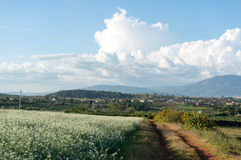 The mustard field with white flower in DonDuong - Dalat- VietNam Stock Photos