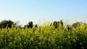Mustard Field on a Windy Day stock footage