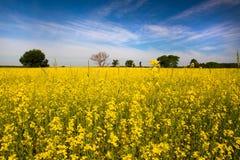 Mustard Field Royalty Free Stock Photo