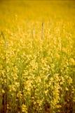 Mustard Field Royalty Free Stock Image