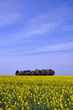 Mustard fields Royalty Free Stock Photography