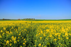 The mustard fields, Dijon, France Royalty Free Stock Photos