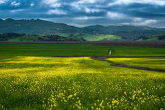 Mustard fields. Landscape of mustard fields in Sonoma, Northern California Royalty Free Stock Images