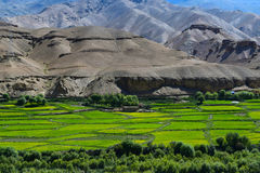 Mustard fields in leh and ladakh Stock Image