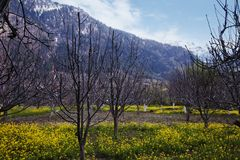 Mustard fields with mountains in the background, Manali, Himacha Stock Photography