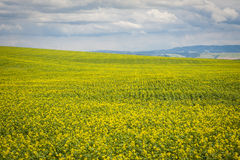 Mustard fields under a summer clouds Stock Images