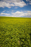 Mustard fields under a summer clouds Stock Photos