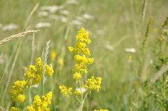 Mustard, Flora, Mustard Plant, Rapeseed royalty free stock images