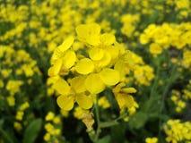 Mustard flower. Yellow mustard flower on mustard field Stock Photo