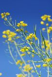 Mustard Flower Stock Images