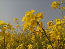Mustard flower. This is beautiful mustard flower Stock Images