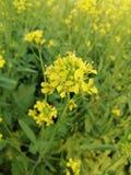 Mustard flower stock images