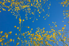 Mustard flower blooms rising into the blue sky Royalty Free Stock Images