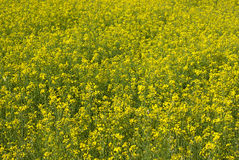 Mustard flower blossom Stock Images