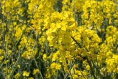 Mustard flower closeup in the field Stock Photos