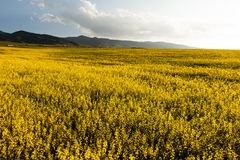 Mustard Flower Field. Field of yellow flowers with mountains in the background Stock Photos