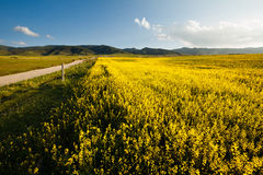 Mustard Flower Field. Field of yellow flowers with mountains in the background Stock Images