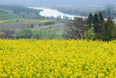 Mustard flower field in Japan Royalty Free Stock Photography