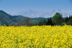 Mustard flower field in Japan Stock Image