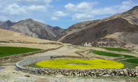 Mustard flower field at sunny day in Leh, India Stock Images